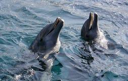 Dolfins jouant dans l'océan Image libre de droits