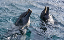 Dolfins playing in the ocean Royalty Free Stock Image