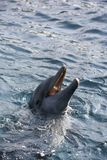 Dolfins playing in the ocean stock photos