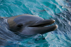 Dolfins playing in the ocean. Adorable Dolfins playing in the ocean Royalty Free Stock Photos