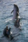 Dolfins que joga no oceano Fotografia de Stock