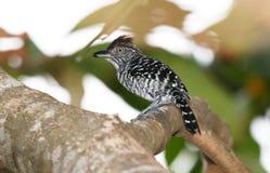 Doliatus barré de Thamnophilus d'Antshrike Images libres de droits