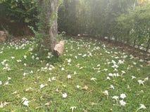 Dolichandrone nel giardino Fotografie Stock Libere da Diritti