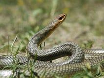 Dolichophis caspius -里海鞭蛇 免版税库存照片
