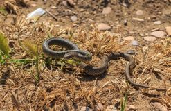 蛇Dolichophis caspius 免版税库存图片