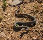 蛇Dolichophis caspius 库存图片