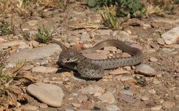 蛇Dolichophis caspius 图库摄影