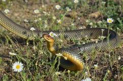 Dolichophis caspius 库存图片
