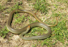 Dolichophis caspius - Caspian whipsnake. Caspian whipsnake (Dolichophis caspius  or Coluber caspius), heating itself in open area Royalty Free Stock Photography