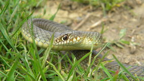 Dolichophis caspius - Caspian whipsnake Royalty Free Stock Photography