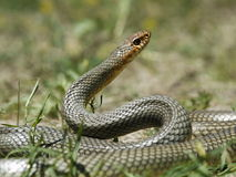 Dolichophis caspius - Caspian whipsnake Royalty Free Stock Photos
