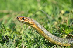 Dolichophis caspius Royalty Free Stock Images