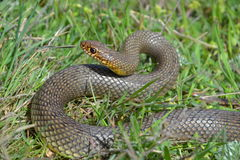 Dolichophis caspius. Is a fast snake that can reach 2 meters and is ready to attack in this photo Stock Image