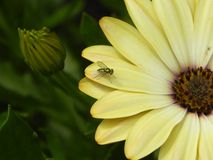 Dolichopodidae on daisy. Metallic green long-legged fly on pastel yellow gerbera daisy Royalty Free Stock Photography