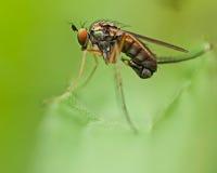 Dolichopodidae Dolichopus Royalty Free Stock Images