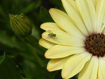 Dolichopodidae sulla margherita fotografia stock libera da diritti