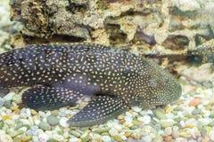 Dolichopterus di Ancistrus del pesce gatto di Bushymouth del pesce dell'acquario Il dolichopterus di Ancistrus, una delle specie  immagine stock