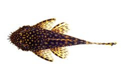 Dolichopterus van Ancistrus van vissen Royalty-vrije Stock Foto's