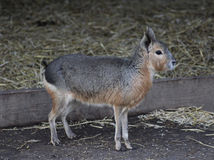 Dolichotis patagonum 库存照片