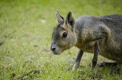 Dolichotis patagonum Mara lub Patagonian Fotografia Stock
