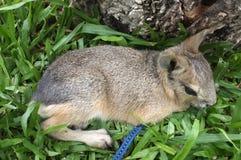 Dolichotis patagonum, Patagonian mara, little animal Royalty Free Stock Photos