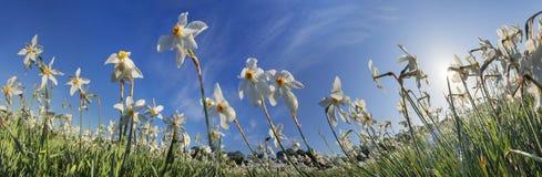 Dolina daffodils, Hust Obraz Stock