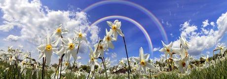 Dolina daffodils, Hust Zdjęcie Stock