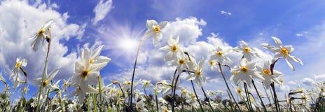 Dolina daffodils, Hust Fotografia Royalty Free