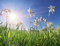 Dolina daffodils, Hust Zdjęcie Royalty Free
