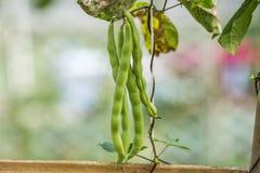 Dolique de Chine, légumes Photos stock