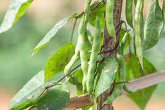 Dolique de Chine, légumes Photo stock