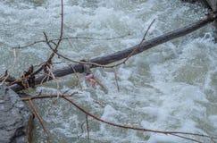 Doll in de tak in de snelle stroom van de rivier wordt gevangen die Stock Fotografie