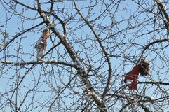 Doll scarecrow. Creepy doll used as scarecrow hanging in a tree in the winter season stock image
