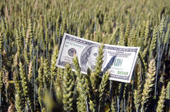 Dollar banknote on wheat ear in field - agriculture business concept Stock Images