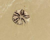 Dollar de sable (biscuit de mer ou biscuit de cordelette) sur la plage photos libres de droits
