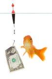 Dollar and goldfish. Goldfish taking the bait isolated on white Stock Photo
