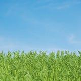 Dollar grass Stock Images