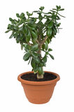 Dollar plant (Crassula ovata). Known also as jade plant or money tree. Isolated on white  with clipping path Stock Images