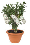 Dollar plant cutout. Dollar plant (Crassula ovata) with money bills isolated on white with clipping path Stock Images