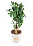 Dollar plant or money tree Royalty Free Stock Photography
