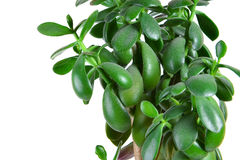 Dollar plant or money tree Stock Images