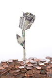 Dollar rose isolated Royalty Free Stock Photography