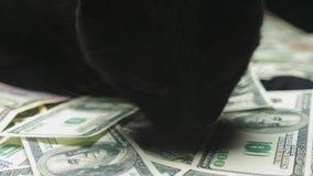 Dollar und eine schwarze Katze stock video