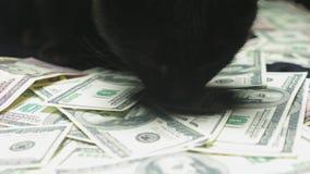 Dollar und eine schwarze Katze stock footage