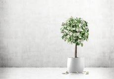 Dollarbaum in einem Topf in einem konkreten Raum Stockbild