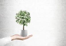 Dollarbaum in einem Topf in einer Hand Lizenzfreies Stockfoto