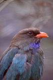 Dollarbird Immagine Stock