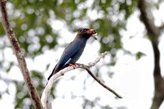 Dollarbird Dollar roller Oriental dollarbird Eurystomus orientalis Royalty Free Stock Images
