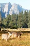 Dollari dei cervi muli con i grandi corni Immagini Stock