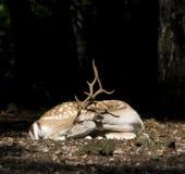 Dollaro dei cervi della coda bianca Fotografie Stock Libere da Diritti